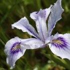 Iris. SFBotanicalGarden.org