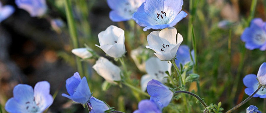 Baby Blue Eyes, one of the native wildflowers that once grew on Mount Davidson. Photo: YosemiteHikes.com