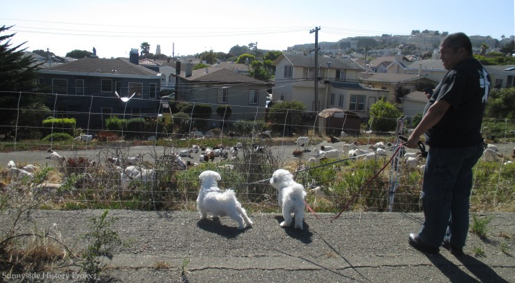 Enjoying the goats, Balboa Reservoir, Aug 2020. Sunnyside History Project. Photo: Amy O'Hair