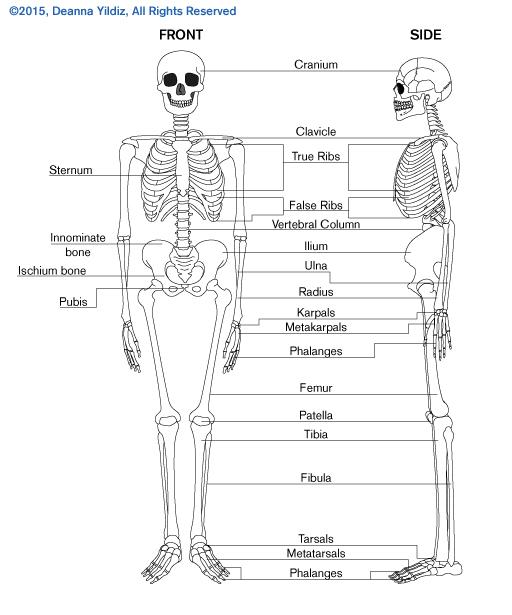 Educational drawing of skeleton