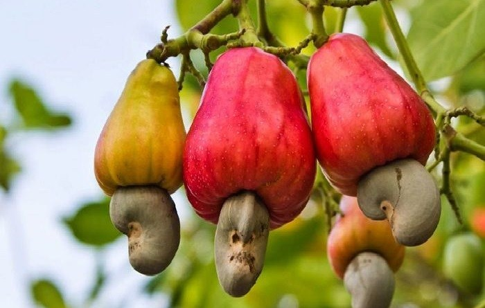 5 health benefits of Cashew nuts that doctors will not tell you