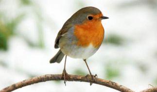 Robin European robin-548142