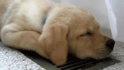Dog on vent - Common AC problems - Fort Myers - Sunset Air & Home Services