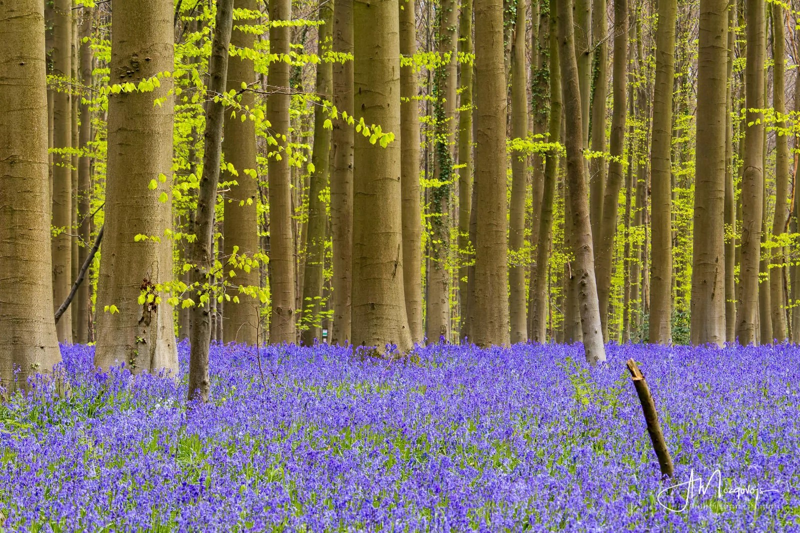 Blooming bluebells in Hallerbos are harder to photograph on an overcast day