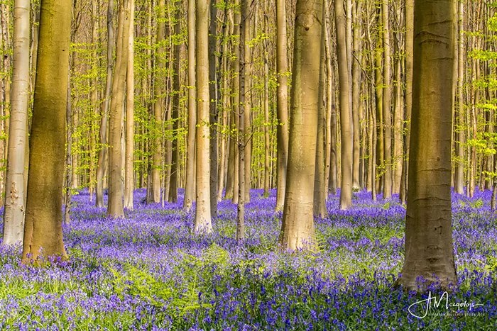 Hallerbos forest at spring bloom, Belgium