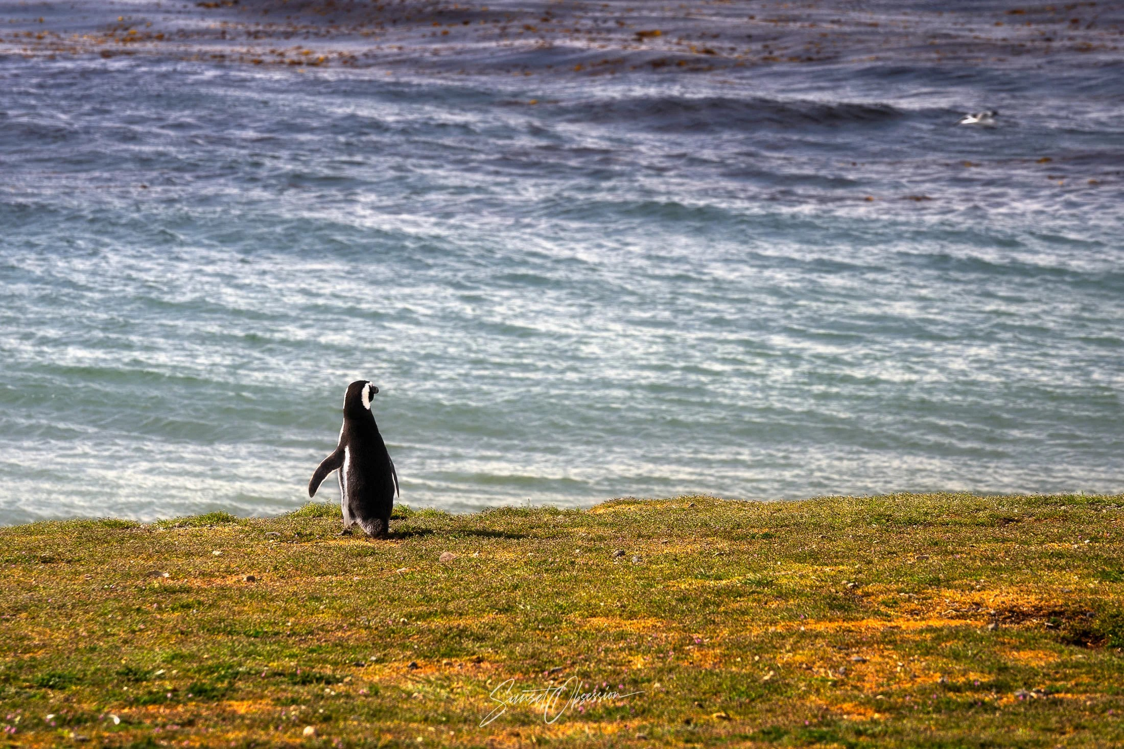 Lonely penguin on the Isla Magdalena, Chilean Patagonia