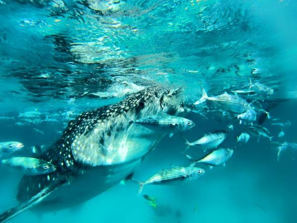 Whale sharks eating - gentle giants