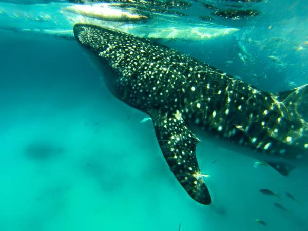 Whale Sharks in their natural habitat