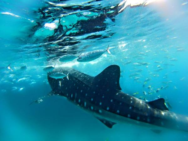 Swimming with Whale Sharks in Oslob sunsettravellers
