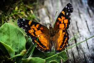 American Painted Lady Butterfly