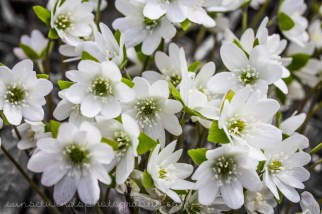 White Sharp-Lobed Hepatica