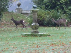 Roe Deer at Castle Kennedy.