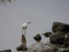 Little Egret on the Silverdale coast.