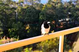A Butcherbird come to say hello, Mt Tamborine