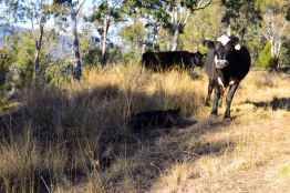 Some friendly cows at Spicers Peak Lodge