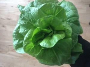 843 garden lettuce