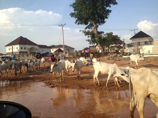 Cows at school 2