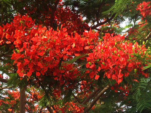 Flame Tree at school