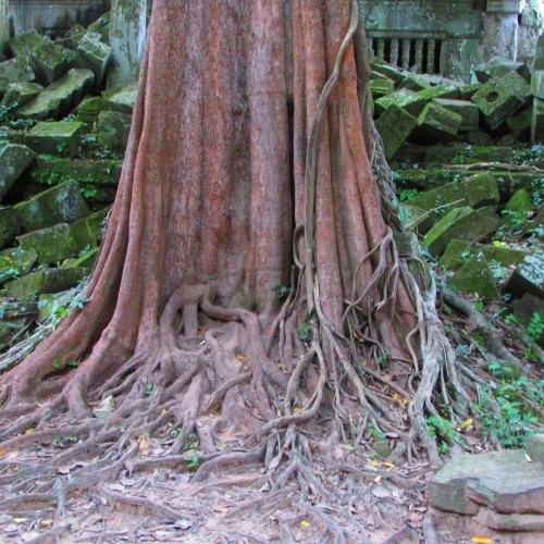 Bang Melea Tree Roots