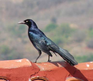 Large tailed Grackle (Zanate)
