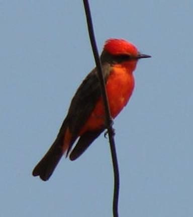Vermillion Flycatcher (Cardenalito)