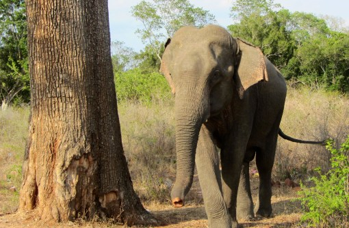 fun fact: asian elephants have little ears compared to the african elephants with dumbo-style flappers.