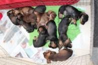 Indie pups 7 weeks (26) (800x533)