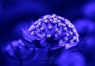 AstranthiaBlue0073 2012.07.14CropEditMCBlog
