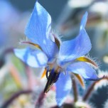 Borage 6900CropEdit 2013.06.14Blog