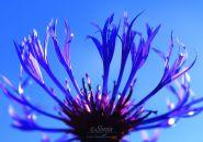 Cornflower 6956CropEditBlog