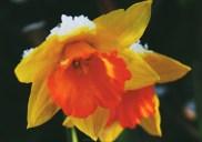 Daffodils 3232CropEdit 2013.03.19Blog