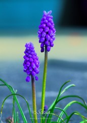 Muscari 4759CropEdit 2013.05.02Blog