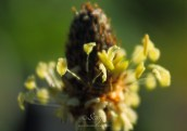 Plantain 6927CropEdit 2013.06.14Blog