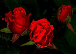 Roses 8115CropEdit 2013.07.04Blog