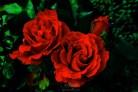 Roses 8132Edit 2013.07.05Blog