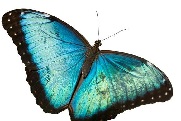 bell-butterflylarge