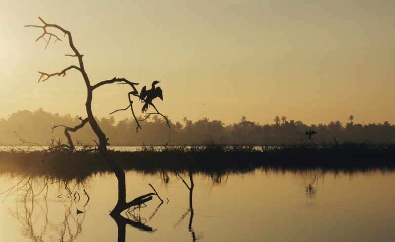 Birds on tree branch during the sunrise on Lake Vembanad