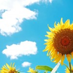夏の花、ひまわりに関する無料イラスト・素材サイト
