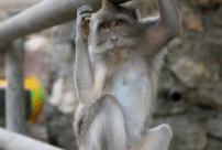 Cheeky monkey sitting on the railing