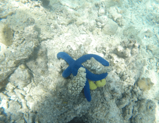 Blue starfish contrasting against the white coral