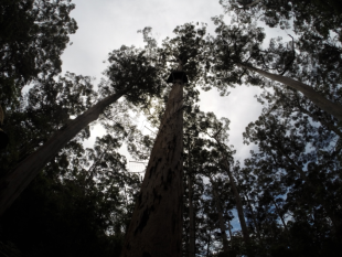 Bicentennial tree in Pemberton