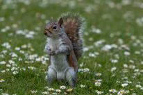 Squirrel standing upright on the grass, bushy brown tail up, green grass covered with white daisies around the cute little creature