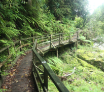 Very lush green bushes and trees aligning the wooden footpath which is green