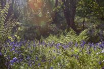 Blue bells with solar flares on the photo glowing orange, yellow and green, green bushes and beautiful purple blue bluebells