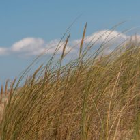 Reeds at the beach blowing in the breeze