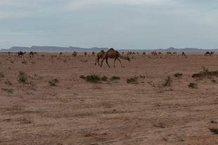 Wild camels eating