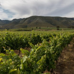 grape wines for a winery, mountains behind