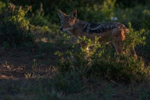 Black backed jackle in the evening light