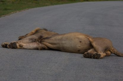 fat bellied lion laying across the road, full belly from a fresh kill
