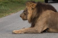 Big male lion laying on the road